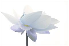 Lotus Flower - Blue - IMG_2583-1000 (Bahman Farzad) Tags: blue flower macro yoga peace lotus relaxing peaceful meditation therapy lotusflower lotuspetal lotuspetals lotusflowerpetals lotusflowerpetal