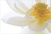 Lotus Flower Macro - IMG_1782-1000 (Bahman Farzad) Tags: flower macro yoga peace lotus relaxing peaceful meditation therapy lotusflower lotuspetal lotuspetals lotusflowerpetals lotusflowerpetal