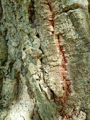 """Bark fissures • <a style=""""font-size:0.8em;"""" href=""""http://www.flickr.com/photos/61957374@N08/5849728371/"""" target=""""_blank"""">View on Flickr</a>"""