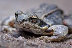 Kiss me :)) (Bea Antoni) Tags: tamron canon summer sommer makro macro nahaufnahme closeup nature natur wildlife tier animal kröte toad frosch frog