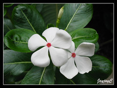Catharanthus roseus 'Cooler Peppermint' (Cooler Peppermint Vinca), white form with red centre in our garden, Arpil 2009