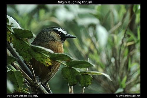 Nilgiri laughing thrush 2