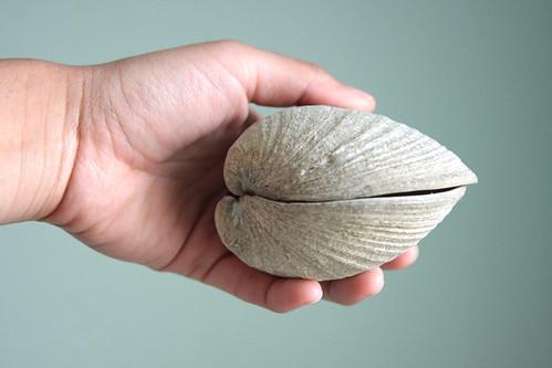 huge clam