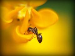 Sweet Taste (GlossyEye.) Tags: world flower macro nature beautiful yellow wonder photography la nikon sweet ant 55mm fa differenza ♥♥ lamicizia mywinners nikond40 ♫♪♫ ♫♪♫♥♥lamiciziafaladifferenza♫♪♫♥♥ picnikorpicnic