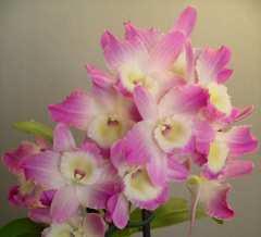 Yamamoto Dendrobium