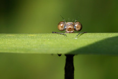 Hello World (Roeselien Raimond) Tags: world portrait macro eye canon insect eyes dragonfly ogen portret closup damselfly waterjuffer oog hellow naturephotography juffer enface natuurfotografie watersnuffel macrolife roeselien thrumyeye fantasticinsect vosplusbellesphotos roeselienraimond