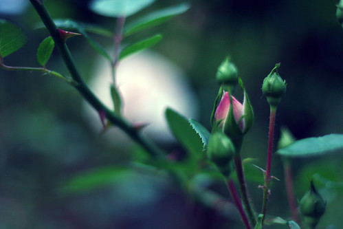 フリー画像| 植物| 薔薇/バラ| 蕾/つぼみ| 緑色/グリーン|       フリー素材|