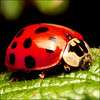 ~ Ladybug  Ladybird ~ (ViaMoi) Tags: canon ladybug tamron90mmmacro digitalcameraclub 40d viamoi 100commentgroup 3xlensfilter