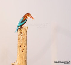 White-Throated Kingfisher #2 (Sir Mart Outdoorgraphy) Tags: macro birds fauna magazine spider flora education nikon photographer eagle bokeh outdoor birding best micro malaysia kingfisher penang indah egret stork swallows burung byram flyingduck unik whitethroatedkingfisher halcyonsmyrnensis nikonian d90 whitethroated whitebreastedkingfisher rajaudang bangau menarik nikonuser nibongtebal jurugambar penangflickr pulauburung sirmart outdoorgraphy outdoorgraphy penangflickrgroup pulauburong
