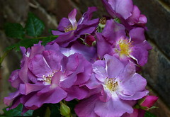 """Rhapsody in Blue"" ..... (abbietabbie) Tags: pink rose garden purple explore unusual shrub floribunda bexhillonsea naturesfinest rhapsodyinblue fantasticflower fadestoslateblue welcomeuk"