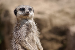 Meerkat at Twycross Zoo - 11/06/09