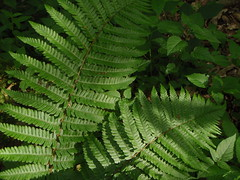 Scaly Male Fern (Dryopteris pseudomas)