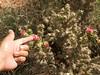hybrid cholla (DarinAZ) Tags: new cactus mexico cactaceae zuni cylindropuntia hugyourcacti