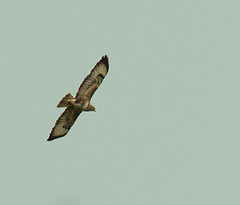 Buzzard (dudley72) Tags: park uk bird nature wildlife south yorkshire flight prey buzzard soar hunt pheonix dearne