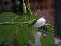 holiness  ! (H G M) Tags: flower holiness kanchan bauhiniaacuminata whiteorchidtree dwarfwhitebauhinia snowyorchidtree hgmphotostream