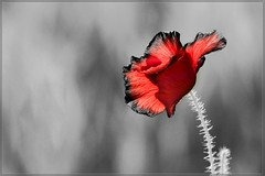 Bleed (woolyboy) Tags: life uk red beauty wither short poppy sensational eastsussex natures falmer fadetogrey