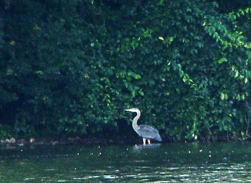 Monet's heron