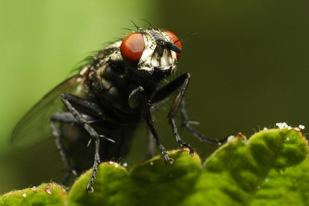 Makro Umkehrring Fliege Nahaufnahme