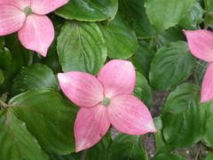 Flowers #67 (tt64jp) Tags: pink plants plant flower color colour nature floral fleur colors japan japanese flora blossom flor bloom  flowering  blume   flore       kousadogwood  kitakaruizawa  tsumagoi