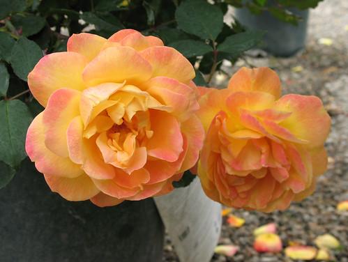 orange and pinkish roses