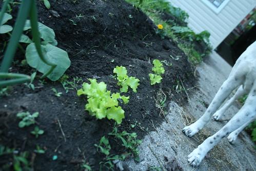 city lettuce