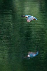 | Kingfisher's Flight ([]NEEL[]) Tags: bird reflexions commonkingfisher alcedoatthis