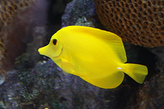 Nature's Paradise (Mona Hura) Tags: county fish water beautiful yellow aquarium restaurant florida salt tropical pensacola saltwater tang yellowtang escambia