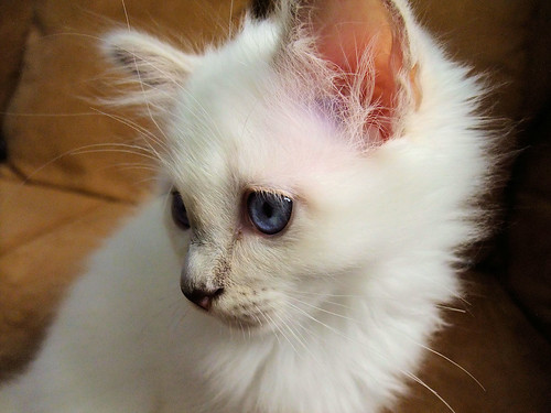cute ragdoll kitten white cat pic