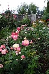 BJs roses