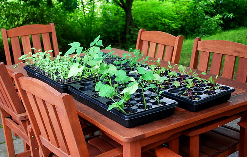 Seedlings on table 2