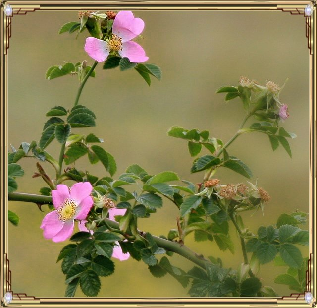 Wild Rose in Frame
