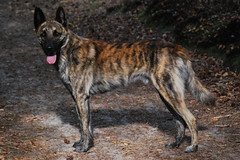 Hugo van Stavast (moniek de jager) Tags: dog dutch shepherd hond herder hollandse moniekdejager hugovanstavast