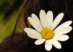 ...tra i pensieri... (piccola ale) Tags: flower fiore margherita capelli