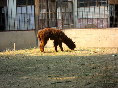 Another brown Alpaca