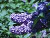 20090517-Hulda Klager Lilac Gardens - Flowers 10