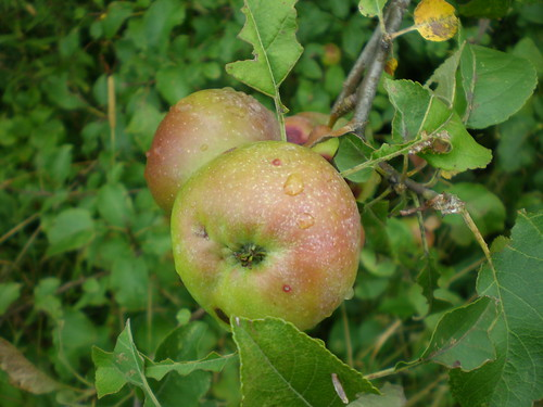 Notice the russeting on these apples that otherwise look like small Mcintoshes