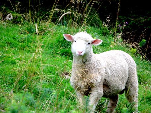 baah baah little white sheep...