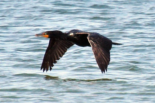 dc cormorant flying