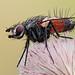 Eriothrix rufomaculata