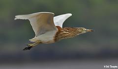 Chinese Pond Heron IMG_4352xw.jpg (jingbar) Tags: bobthompson canon5dmark2 canon400mmf56lens