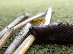 Lumaca  Rossa (Luca 4891) Tags: wood italy macro italia stu tennis campo lumaca montagna legno rossa sintetico premeno legnetto macroinsectes
