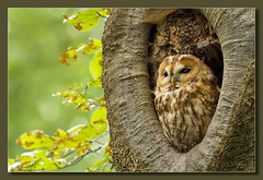 Tawny Owl (hvhe1) Tags: holland tree bird nature netherlands animal bravo wildlife owl hollow interestingness9 birdofprey overijssel tawny tawnyowl strixaluco specanimal bosuil hvhe1 hennievanheerden specanimalphotooftheday anawesomeshot avianexcellence