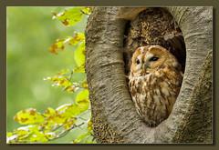 Tawny Owl (hvhe1) Tags: holland tree bird nature netherlands animal bravo wildlife owl hollow interestingness9 birdofprey overijssel tawny tawnyowl strixaluco specanimal bosuil hvhe1 hennievanheerden specanimalphotooftheday anawesomeshot avianexcellence