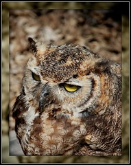 RIP owl buddy... (MandyJo Photo) Tags: usa bird nature texas wildlife falfurrias copyrighted mandyjo