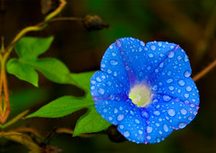 Even a Dreary Morning Can Be a Glorious Morning! (Uncle Phooey) Tags: blue wild flower rural scenic explore missouri bloomer bloom morningglory ozarks southwestmissouri inspiredbycindy unclephooey evenadrearymorning canbeagloriousmorning