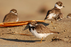 Competition in the background (Pat Ulrich) Tags: california birds d50 wildlife birding nikond50 marincounty napping pointreyes pacificcoast limantourbeach shorebirds pointreyesnationalseashore longshadow plovers naturesfinest charadriussemipalmatus semipalmatedplover alongthebeach ©patulrich