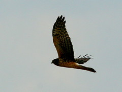 NorthernHarrier20091013