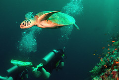 Not going my way?.(in Explore) (gillybooze) Tags: underwater turtle explore malaysia sipadan southchinasea fisheyelens sulawesisea oneofmypics madaleundewaterimages