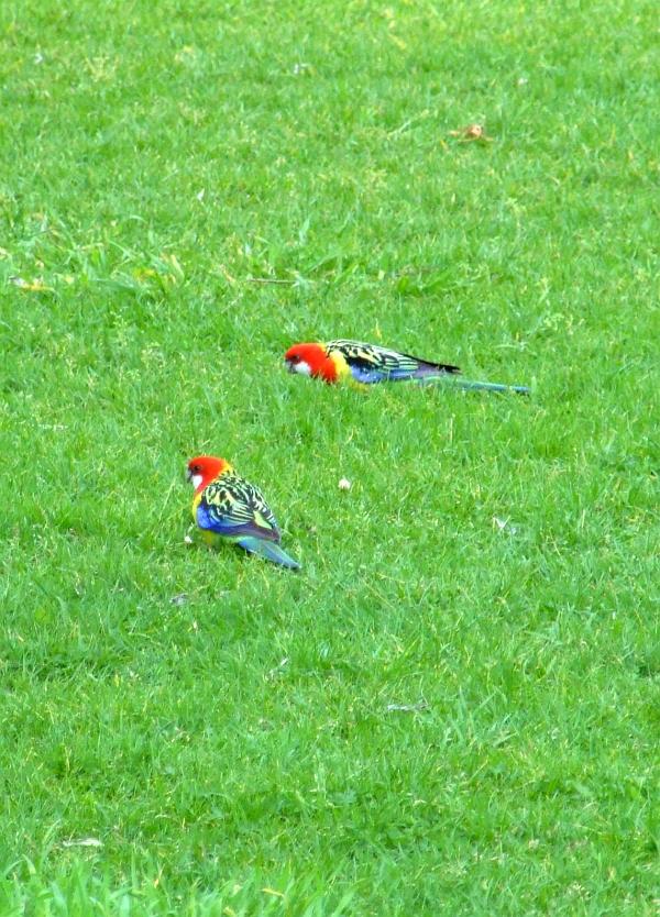 eastern rosella parrot 02