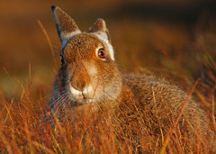 Changing (Chris Sharratt) Tags: changing mountainhare lepustimidus november2009 chrissharratt